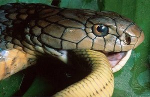 snake eating own tail